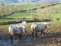 Vaches charolaises